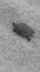 Turtle Quinte West
