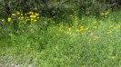 Frankford Ontario yellow flowers (2)